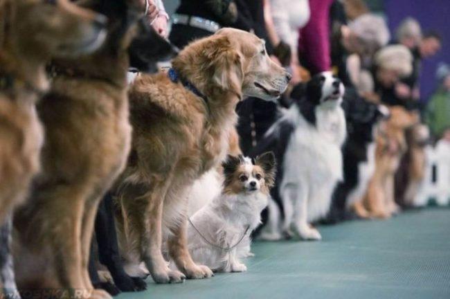 Собаки стоящие в ряд на выставке
