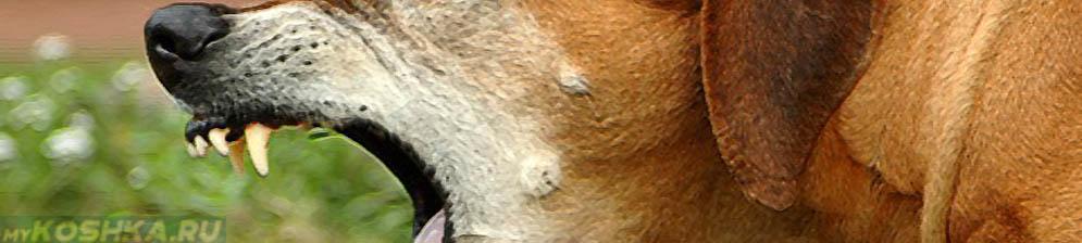 Вольерный кашель у собаки вблизи