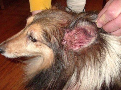 Воспаление среднего уха у собаки