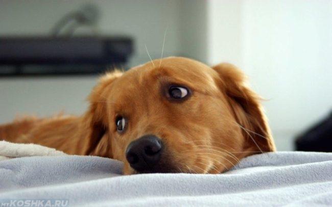 Вялая собака положившая морду на одеяло