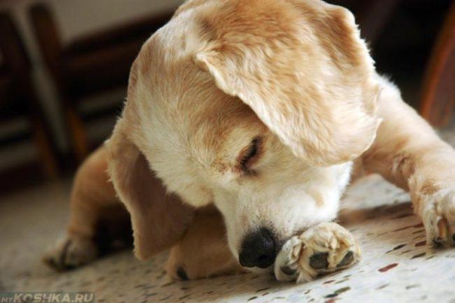 Собака выкусывающая свою лапу