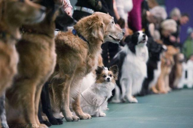 Выставка собак поставленных в ряд