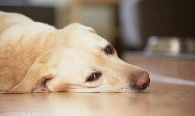 Заболевшая собака положившая голову на пол