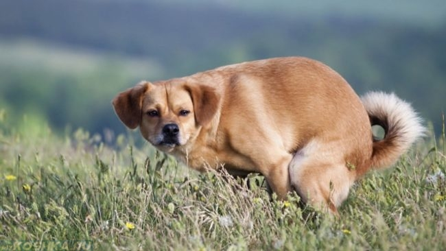 Запор у собаки на зелёной траве