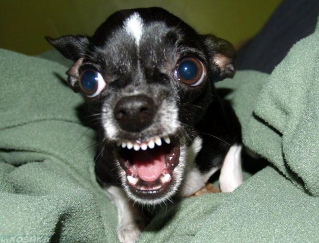 Агрессивная собака породы чихуахуа