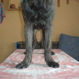Диагностика размета лап у собаки у ветеринара