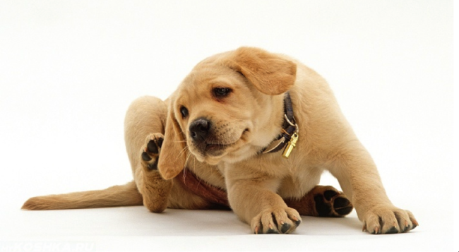 Зуд у собаки на белом фоне