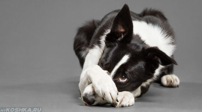 Собака закрывшая глаз лапой