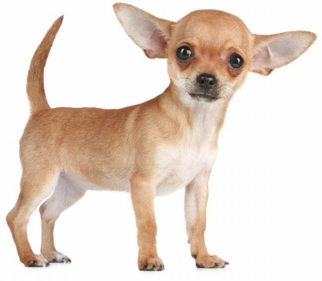 Собака породы чихуахуа на белом фоне