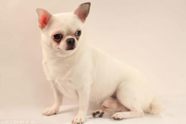 Собака породы чихуахуа белого цвета