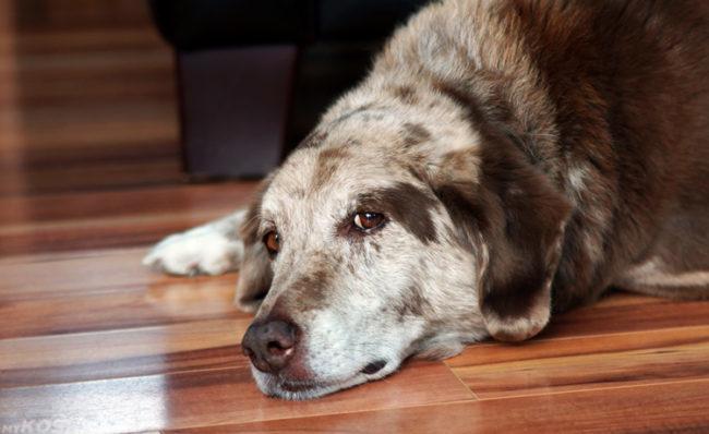 Грустная собака лежащая на полу