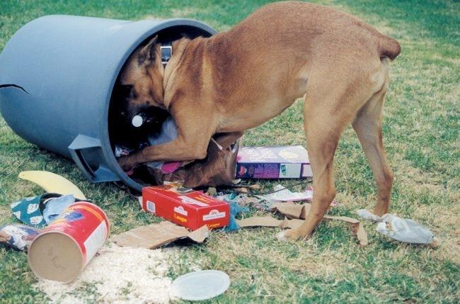Собака роющаяся в мусоре