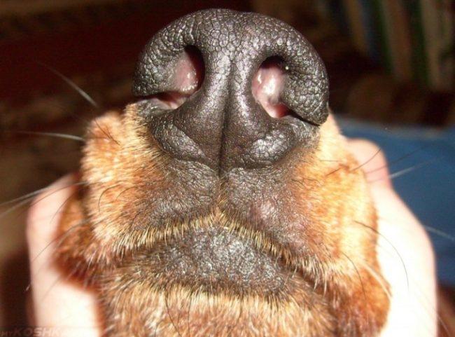 Нос собаки в приближенном виде
