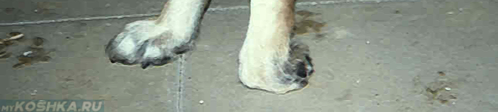 Парез задних конечностей у собаки
