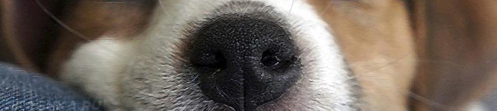 Ринит у собаки вблизи