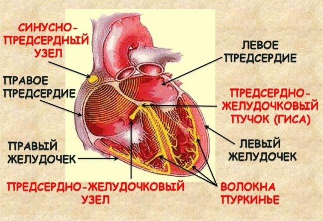 Строение сердца собаки в виде схемы