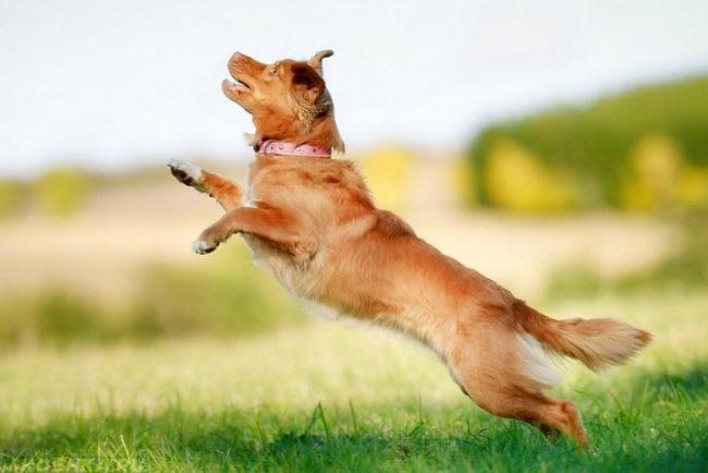 Собака в прыжке на природе