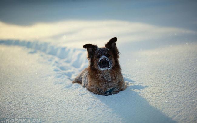 Собака в белом снегу зимой