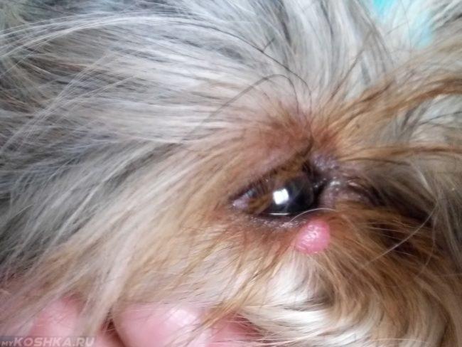Ячмень на глазу у собаки с длинной шерстью