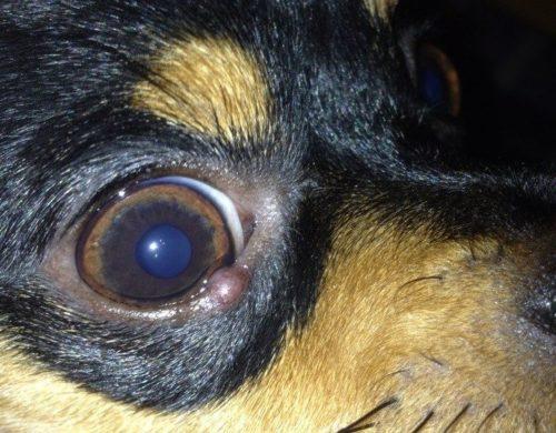 Ячмень на правом глазу у собаки