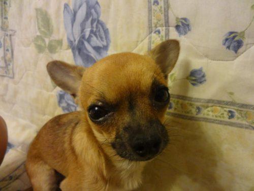 Ячмень на глазу у собаки породы чихуахуа