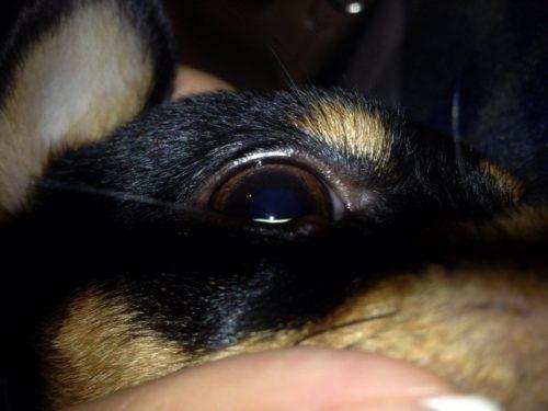 Ячмень на глазу у собаки породы той терьер
