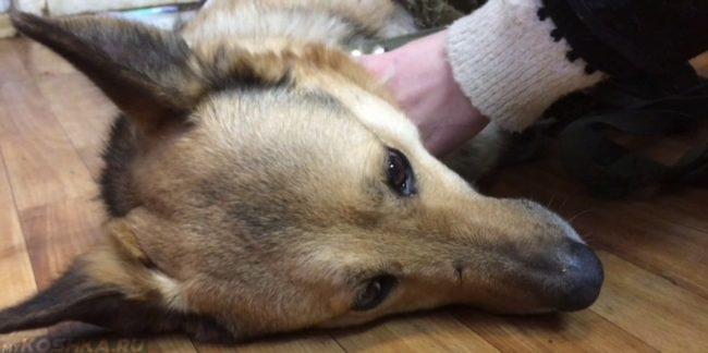 Собака лежащая на боку перед хозяином