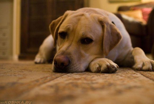 Апатия у собаки лежащей на полу