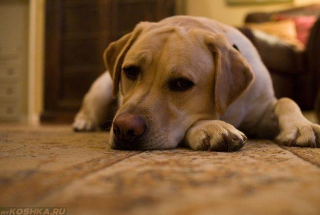 Апатичная и вялая собака на полу