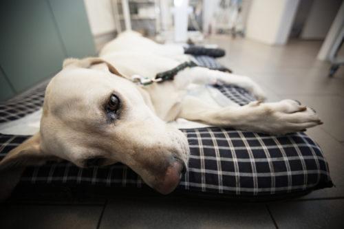 Артроз у собаки лежащей в клинике