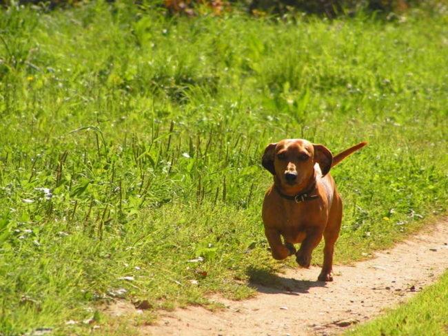 Бегущая собака по тропинке