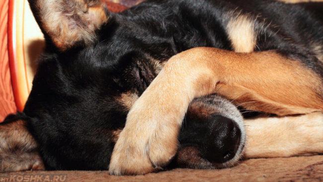 Собака закрывшая себя лапой