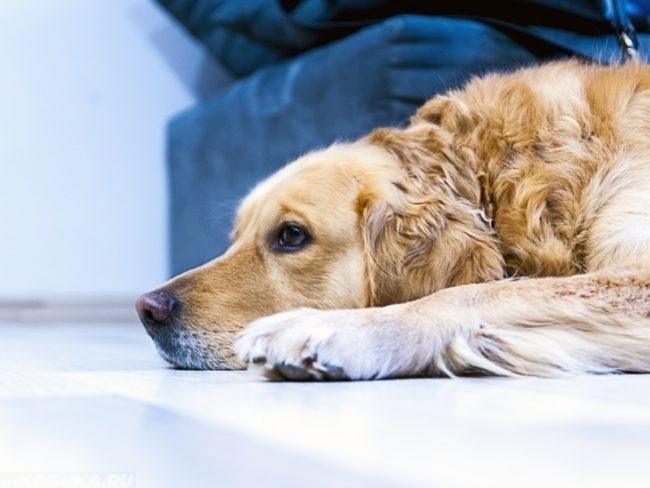 Заболевшая собака лежащая на полу