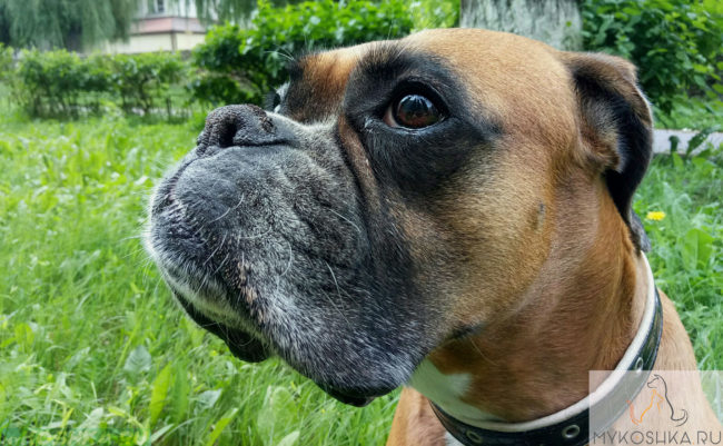 Собака породы немецкий боксёр