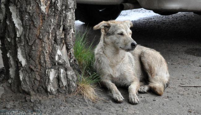 Бродячая собака лежащая у дерева