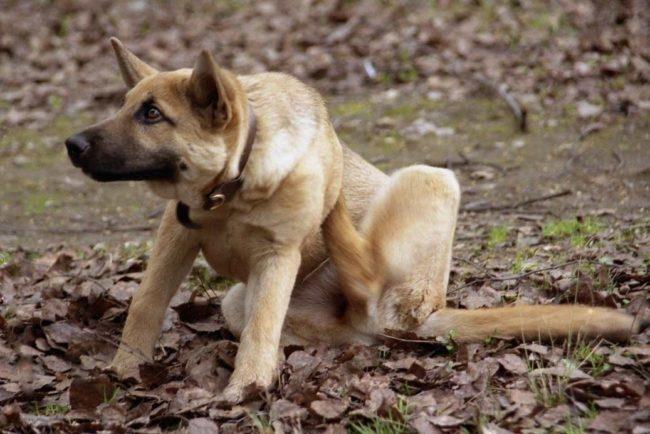 Собака расчёсывающая себя задней лапой