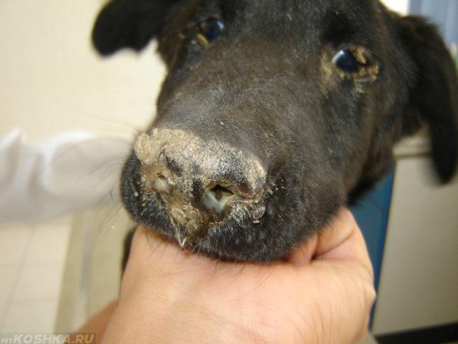 Чумка у собаки чёрного окраса