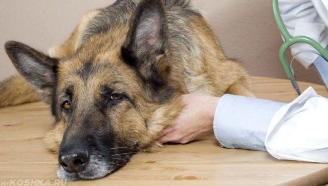 Чумка у собаки лежащей на столе