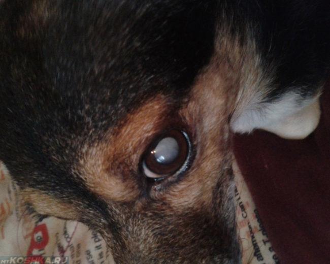 Глаукома у собаки с увеличенным давлением в глазу