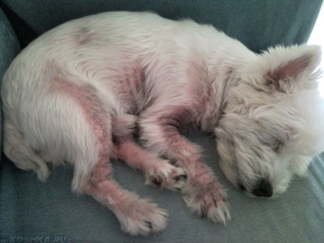Дерматит у собаки лежащей на боку