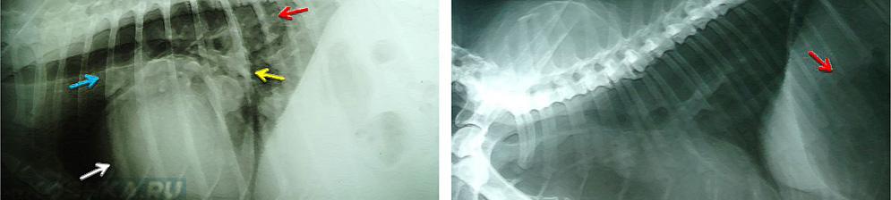 УЗИ собаки больной дирофиляриозом