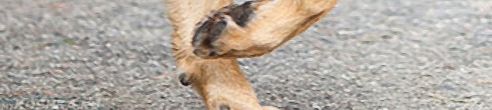 Дисплазия локтевого сустава у собаки на лапе вблизи