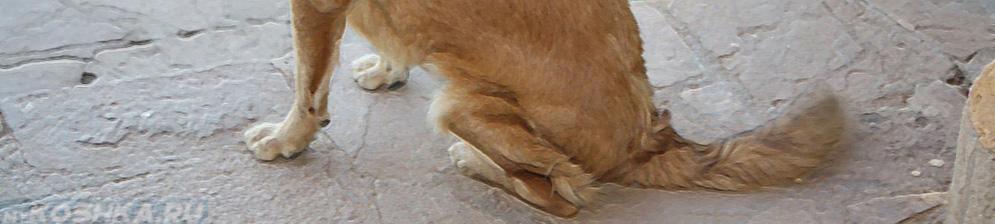 Дисплазия тазобедренного сустава у собаки