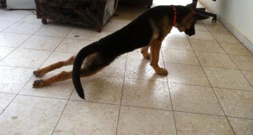 Дисплазия у собаки породы овчарка