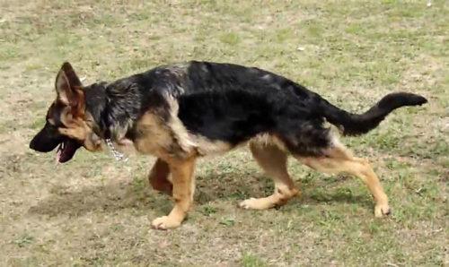 Дисплазия у собаки находящейся на улице