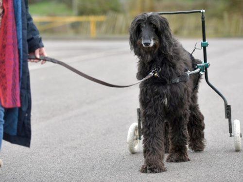 Дисплазия у собаки гуляющей с помощью колесиков