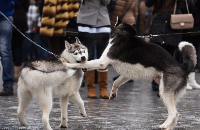 Собака укусившая другую собаку за лапу
