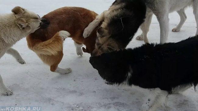 Драка между собак на улице на снегу