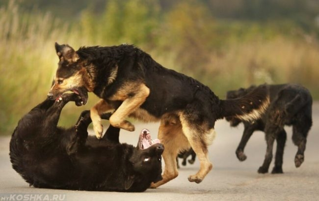 Драка между собаками на улице