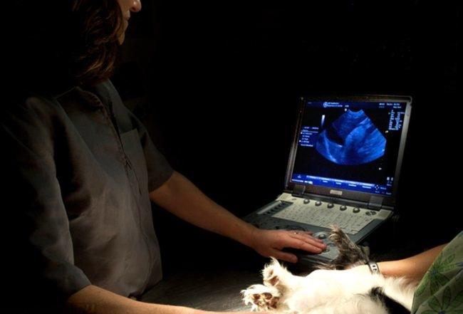 Эхокардиография собаки в клинике